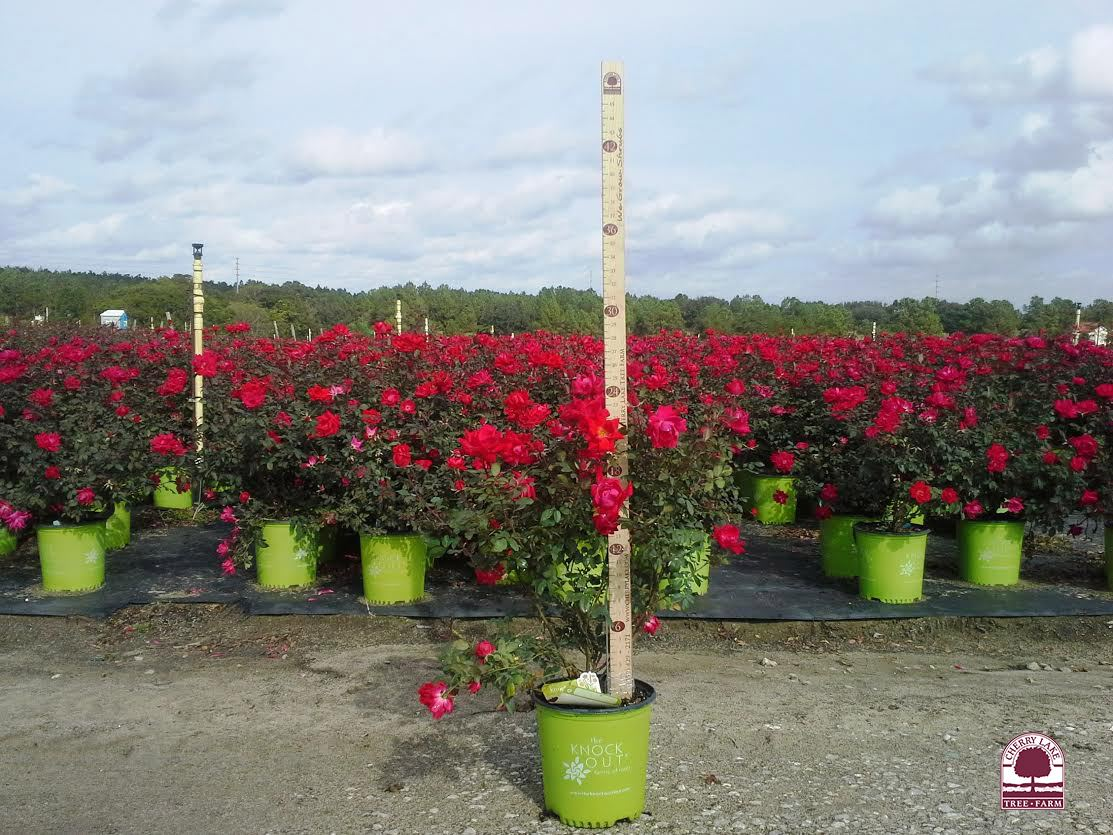 Potted Roses blooming at Cherry Lake Tree Farm